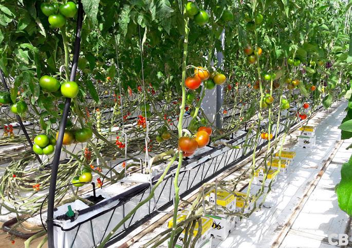 Tomaten, tomaten en nog eens tomaten