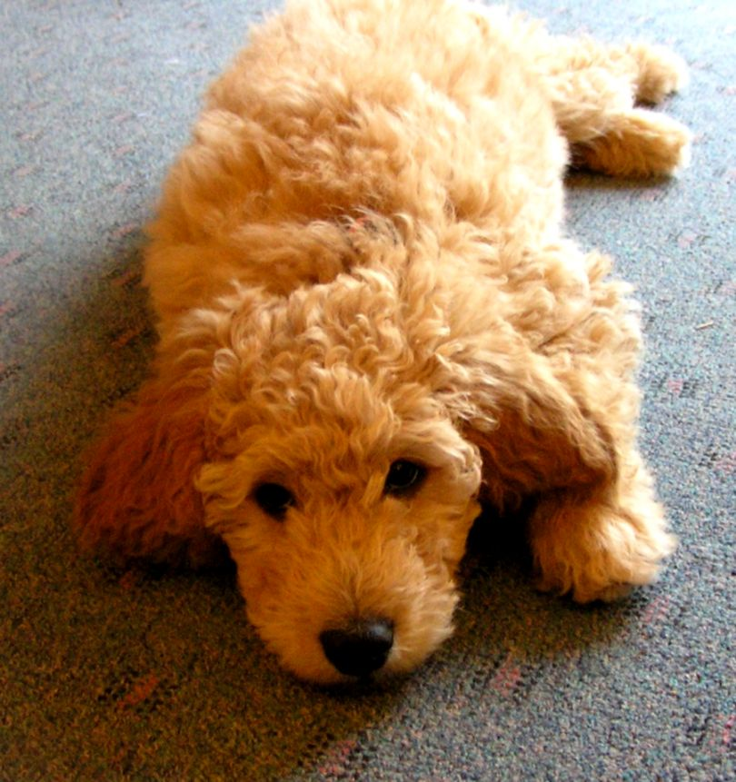 Goldendoodle Wallpapers | Wallpapers No Limit