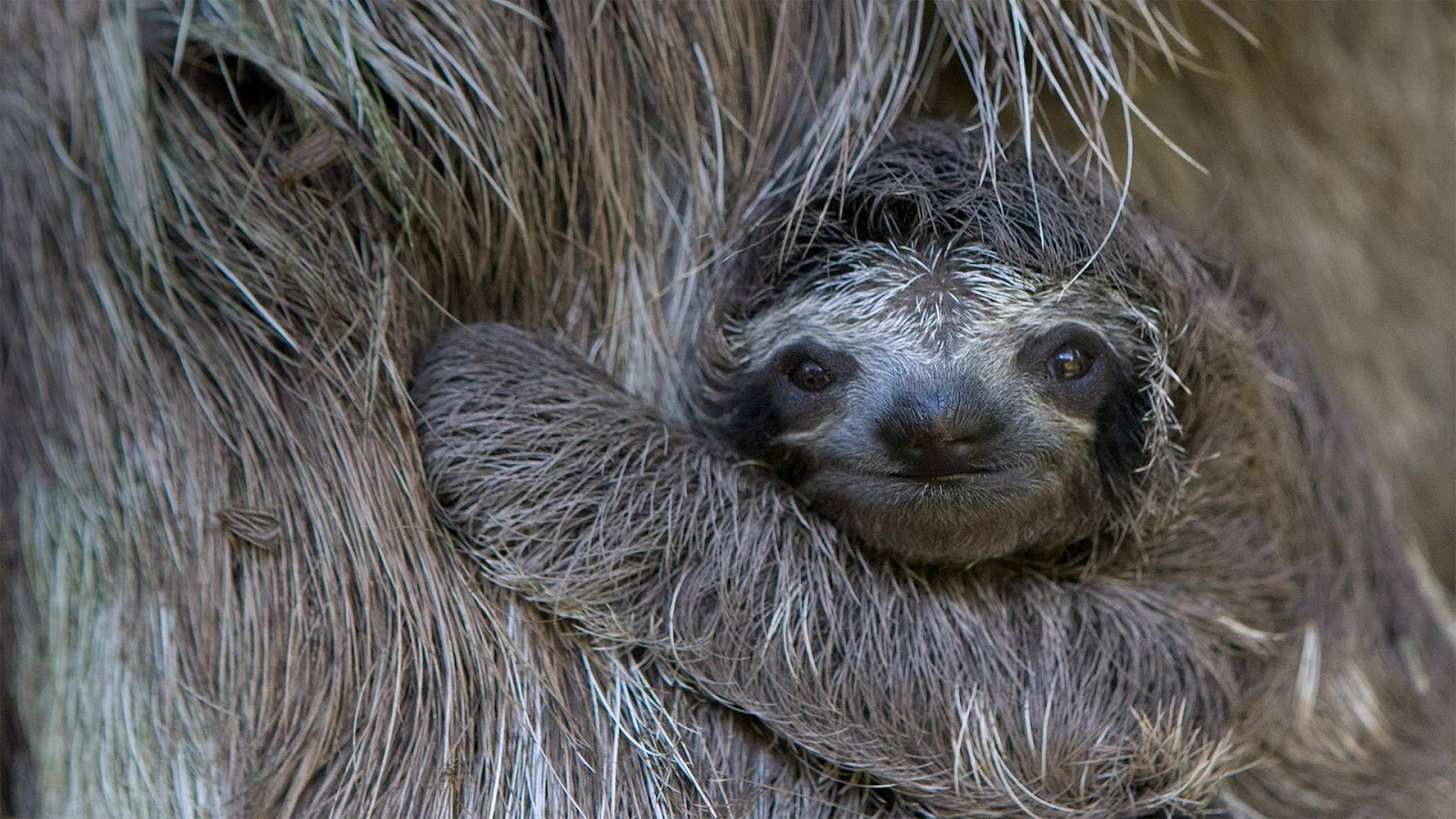 Newborn brown-throated sloth with mother, Sloth Sanctuary of Costa Rica © Suzi Eszterhas/Minden Pictures