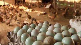 telur itik yang baik untuk telur asin