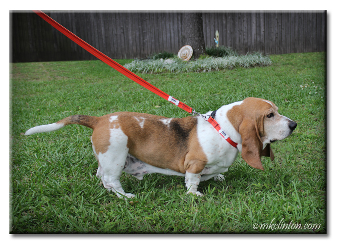 Bentley Basset Hound is looking great with his PrideBites collar and leash