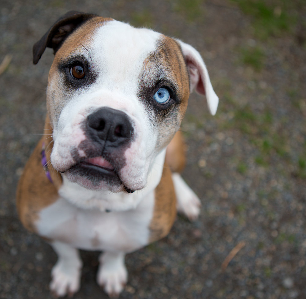 """Shelter Dogs of Portland: """"MAXWELL"""" blue/brown eyed med ..."""