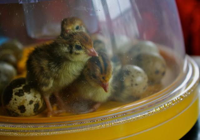 quail chicks in incubator