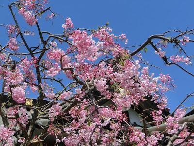 妙隆寺の枝垂れ桜
