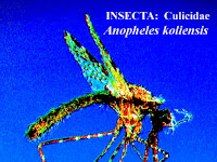 Nyamuk dengan dua Vektor Penyakit : Malaria dan Filariasis di Papua