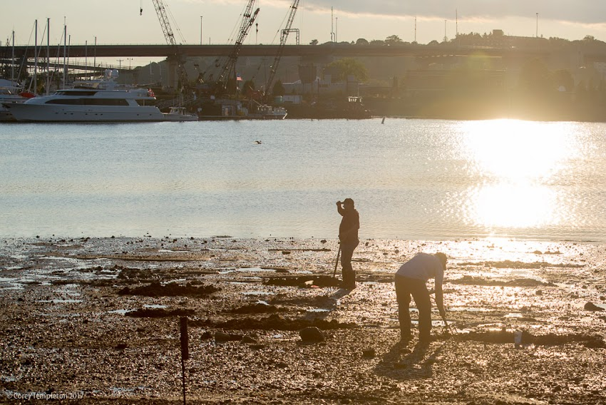 South Portland, Maine USA August 2017 photo by Corey Templeton. Harvesting clams along the South Portland waterfront this afternoon.
