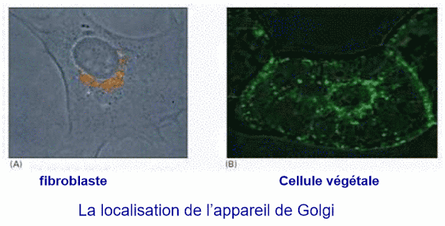 Localisation de l' appareil de Golgi
