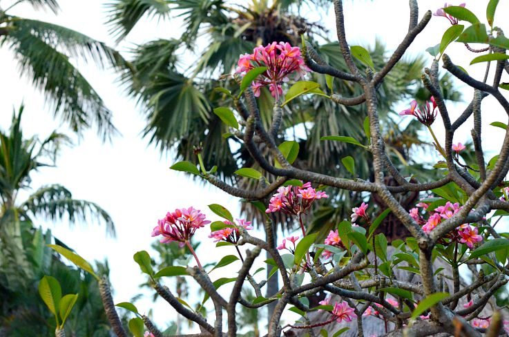 Frangipani flowers, Bali, Indonesia