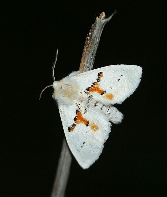 Weiße Zahnspinner, Leucodonta bicoloria