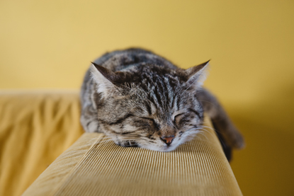 tabby cat asleep on back of sofa