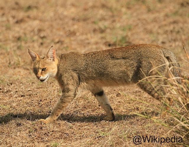 Kucing Liar - hutan