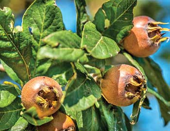 Medlar is the perfect winter fruit, which raises immunity, fight against viruses and protects the respiratory system.  For medlar is said to be a natural aphrodisiac with branches.