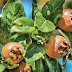 7 Health Benefits of Medlar