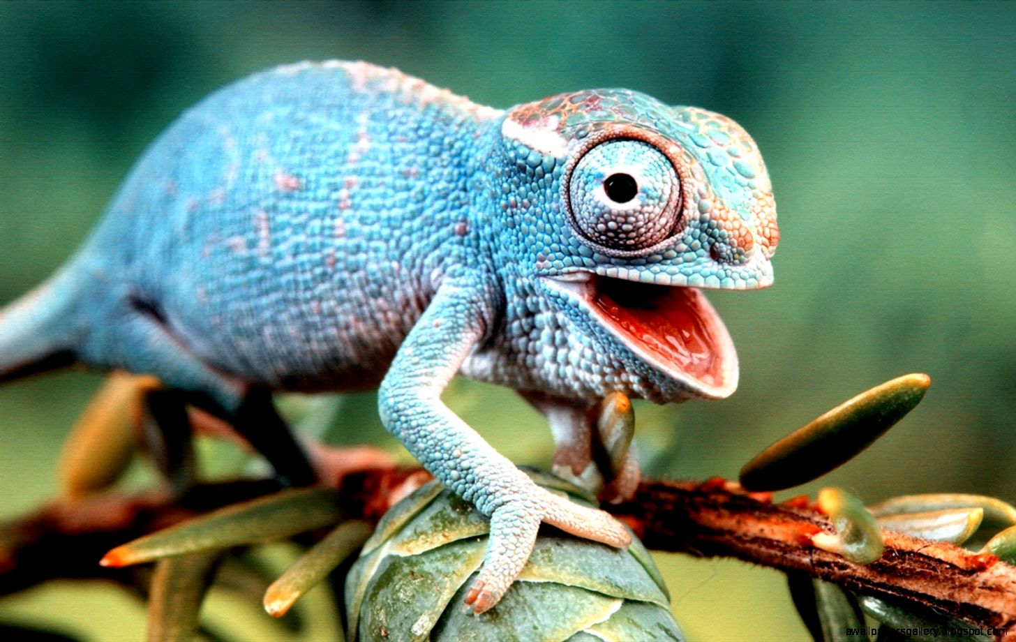 Colorful Lizard Wallpaper | Wallpapers Gallery