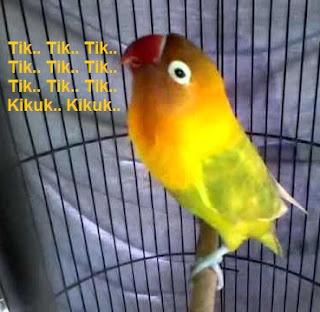 penyebab lovebird ngetik