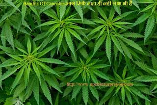 Cannabis-भांग सिर्फ नशा ही नहीं Benifits भी है
