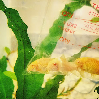 New albino corydoras from Petco, going into DIY hospital tank
