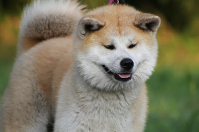 Asian dog breeds, Asian pets