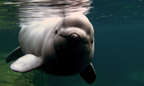 Name the Baby Beluga at the Vancouver Aquarium