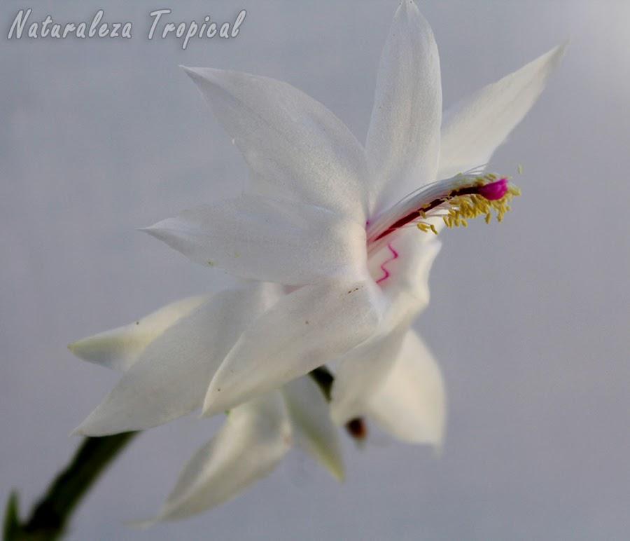 Variedad blanca de la flor del popular Cactus de Navidad, Schlumbergera truncata