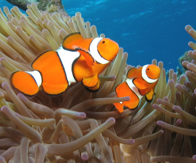 Ikan Giru (Clownfish) Badutnya Lautan