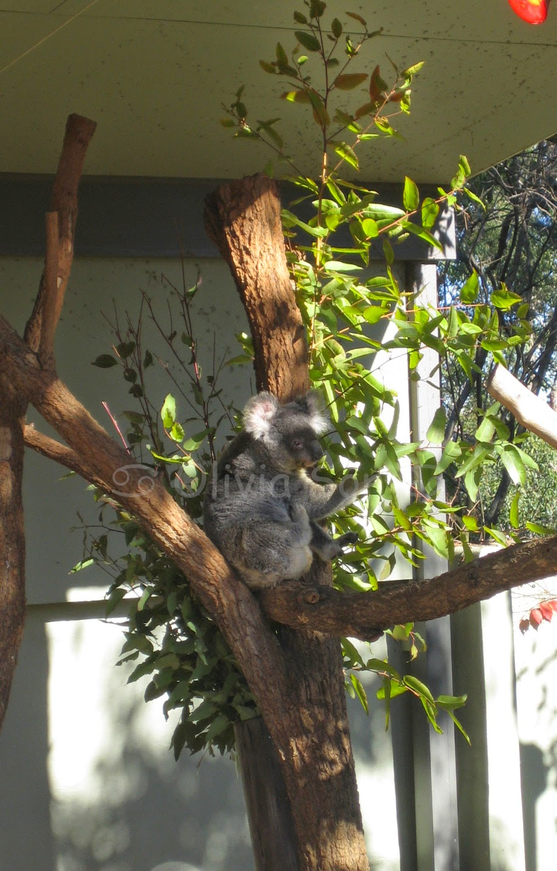 Koala Taronga Zoo, Sydney, Australie