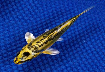 Jenis Jenis Ikan Koi Jenis Tanaman Hidroponik