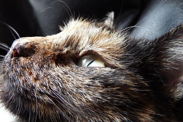 La couleur de pelage dun chat a t elle réellement un lien avec son