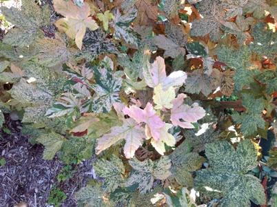 Dane County Extension Teaching Garden Acer Pseudoplatanus Eskimo
