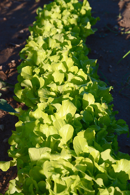 Gardening; lettuce| My Darling Days