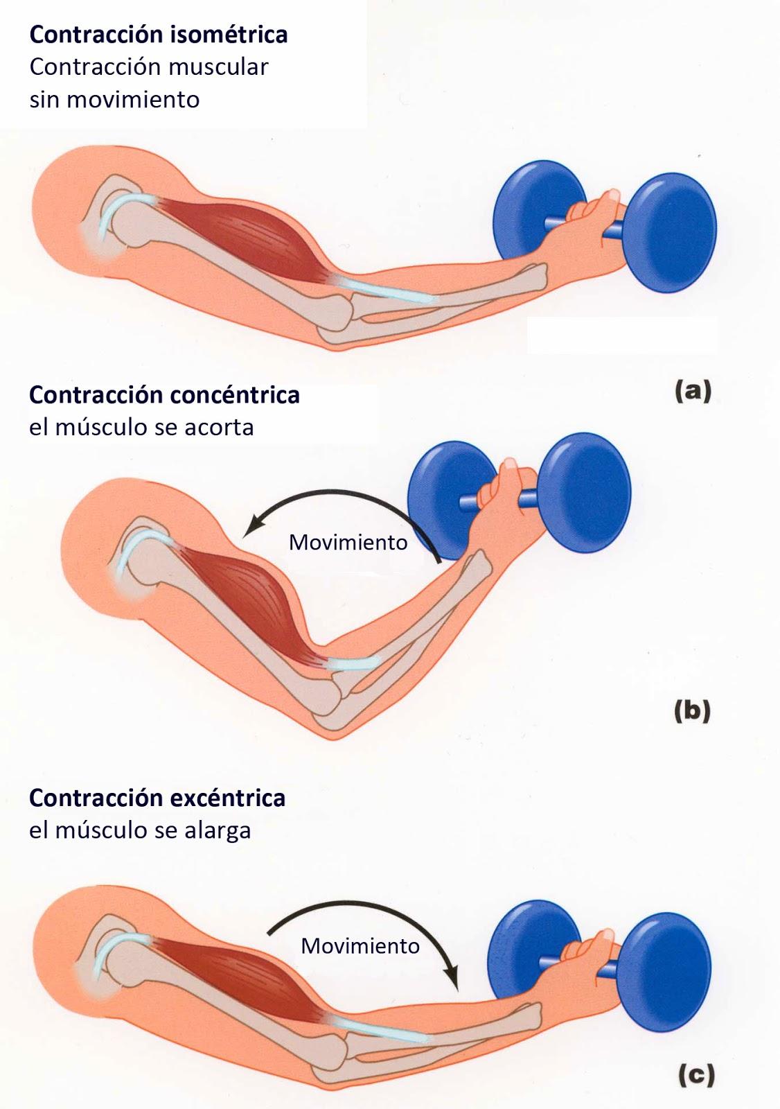 Conceptos generales sobre los músculos esqueléticos y los tipos de ...