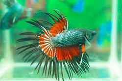 Ikan Hias Cupang Serit