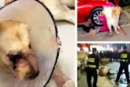 Golden Retriever was brutally attacked by cruel woman while she is riding
