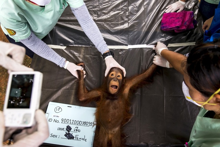 70 Of The Most Touching Photos Taken In 2015 - Thai veterinarians take a picture of an orangutan seized from a private owner. They plan on reintroducing 14 of the animals to their country of origin, Indonesia.
