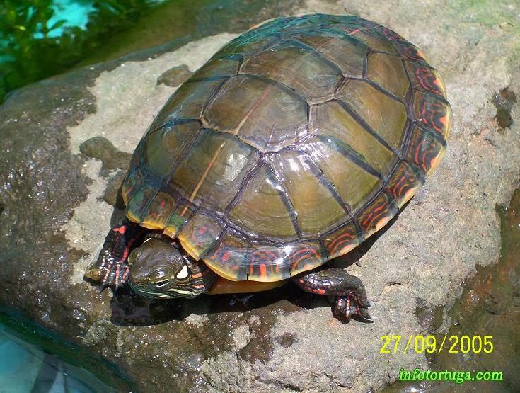 Chrysemys picta - Tortuga pintada
