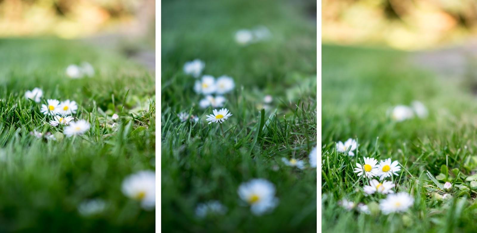 fim.works, ein Lifestyle Blog | Gänseblümchen, sattgrüner Rasen