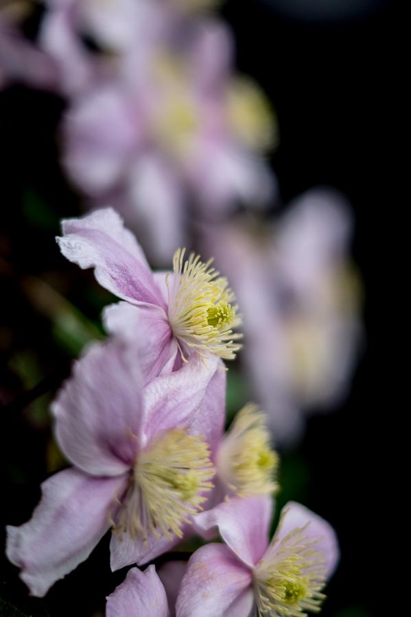 Blog + Fotografie by it's me! | fim.works | Typisch für meinen Garten | rosafarbene Clematisblüten