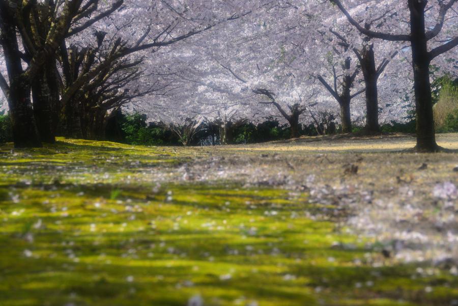大乗寺丘陵公園の桜と緑の苔