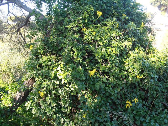 HIEDRA-DEL-CABO-Senecio-angulatus