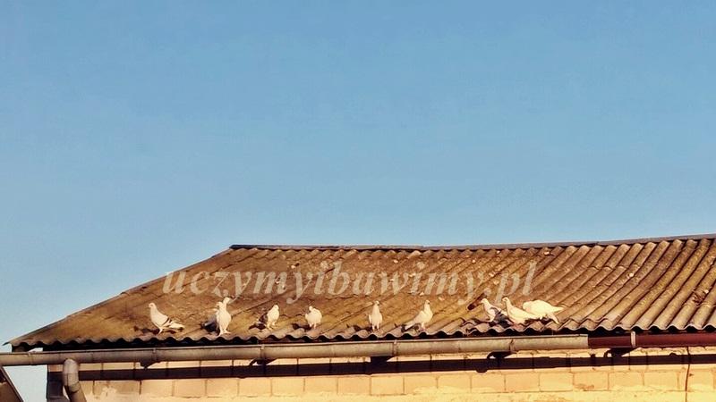 Montessori - gołębie i ptaki