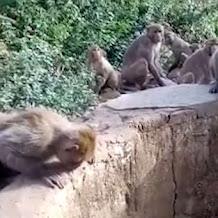 Gerombolan Monyet di India Berhasil Menyelamatkan Macan Tutul Yang Jatuh ke Dalam Sumur