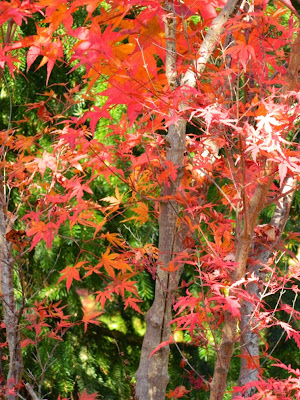 Acer palmatum Kagiri Nishiki Japanese maple fall foliage at Toronto Botanical Garden by garden muses-not another Toronto gardening blog