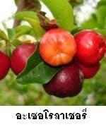 ประโยชน์ของอะเซอโรลาเชอรี่ (Acerola Cherry)
