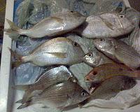 foto de peixes capturados na pesca de praia