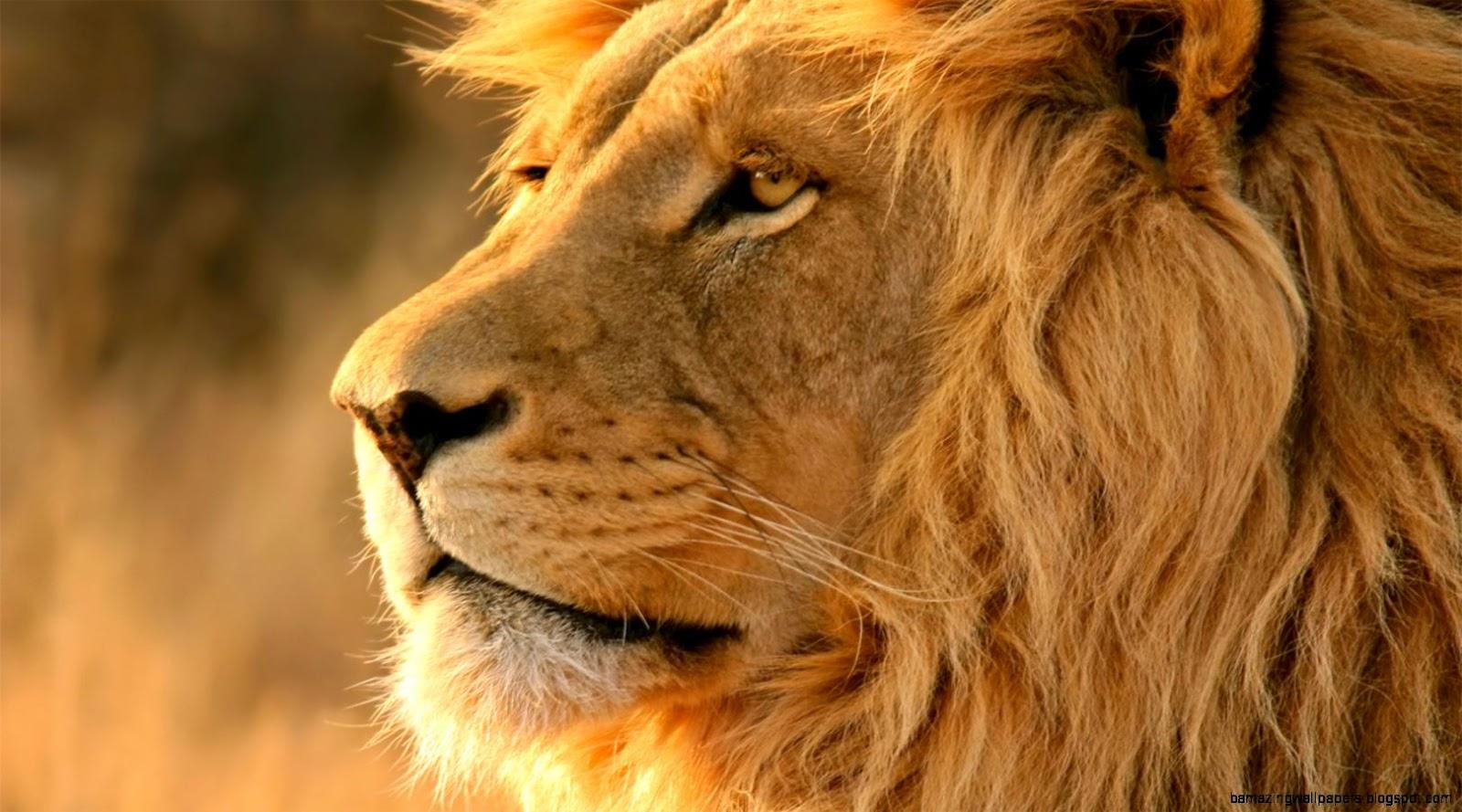 Hd Lion Pictures Lions Wallpapers: Lion Wallpaper Desktop Hd