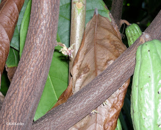 Theobroma cacao, cacao, flower