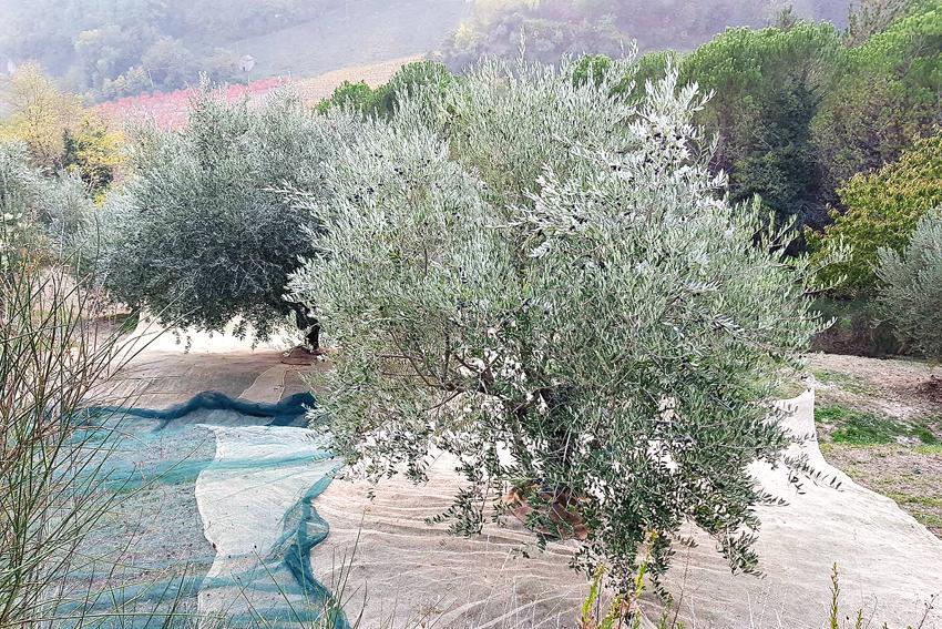 zbieranie oliwek, świeża oliwa