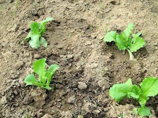 Μαρούλια σπορά φύτεμα καλλιέργεια