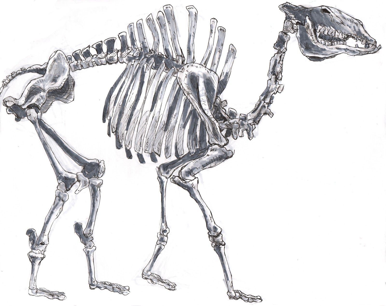 Animal Bones Drawings