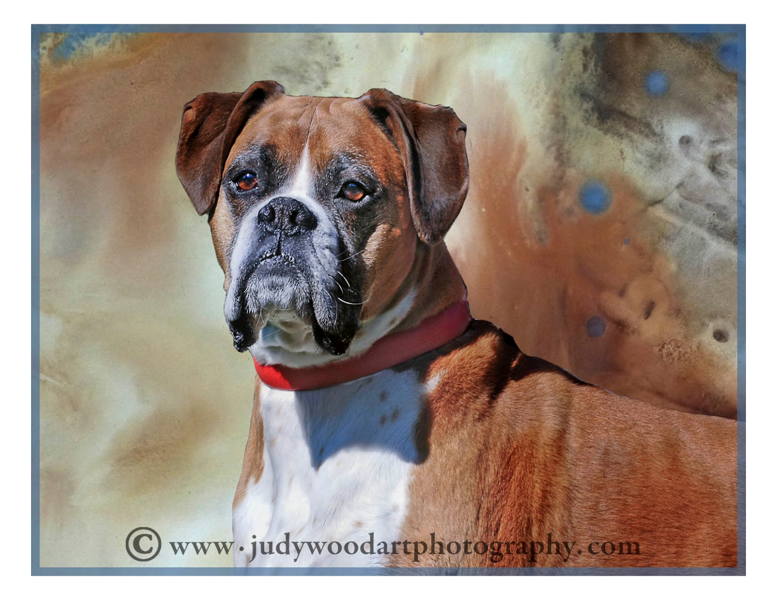 All Boxers, all the time--- | Judy Wood art/photography